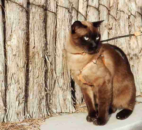 Natural Leather OutBound Cat Harness